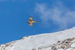 Barbatus adulto del gypaetus del buitre barbudo del vuelo, montañas, azules Fotografía de archivo libre de regalías