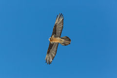 Barbatus adulto del Gypaetus dell'avvoltoio barbuto di volo con cielo blu Fotografia Stock Libera da Diritti