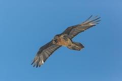 Barbatus adulto del Gypaetus dell'avvoltoio barbuto di volo con cielo blu Immagini Stock