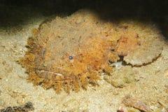 Barbatus barbudo de Sanopus del toadfish Imagenes de archivo