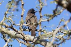 Barbatus común de Pycnonotus del Bulbul Imagen de archivo libre de regalías
