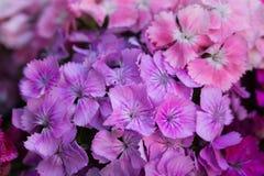 Barbatus del clavel, macro rosada dulce de las flores de Guillermo imagen de archivo