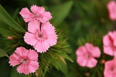 Barbatus del Dianthus fotografie stock libere da diritti