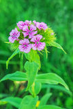 Barbatus del Dianthus Immagine Stock