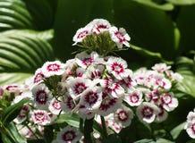 Barbatus del Dianthus Fotografie Stock
