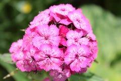 Barbatus del Dianthus (William dolce) Immagine Stock Libera da Diritti