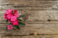 Barbatus del Dianthus (William dolce) Fotografie Stock Libere da Diritti