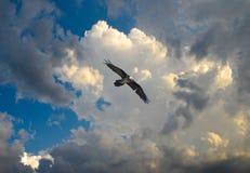 Barbatus del Gypaetus, barbuto di gipeto, avvoltoio barbuto Fotografia Stock
