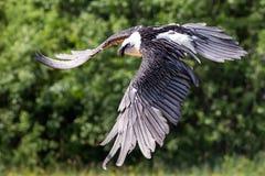 Barbatus del Gypaetus dell'avvoltoio barbuto Immagini Stock Libere da Diritti