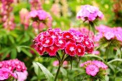 Barbatus Dianthus λουλούδια γλυκός William Στοκ φωτογραφίες με δικαίωμα ελεύθερης χρήσης