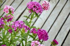 Barbatus do cravo-da-índia do canteiro de flores imagens de stock royalty free