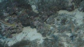 Barbatus do mullus do salmonete vermelho sobre a parte inferior do mar de Mediterranien filme