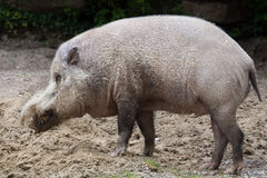 Barbatus van Sus van het Bornean gebaarde varken stock fotografie