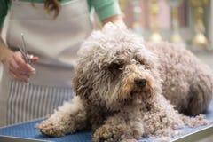 Barbe dog getting his haircut stock photos