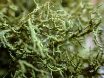 Barbe Lichen Usnea du ` s de vieil homme photos stock