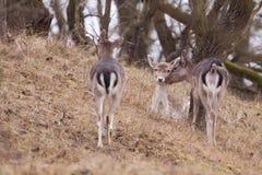 Barbecho-ciervos (dama del Dama) Foto de archivo libre de regalías