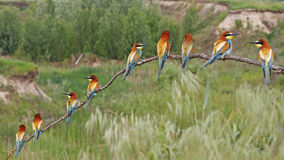 Barbecue bird. European bee-eater wild bird Stock Image