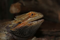 Barbed agama lizard 's mouth opened Stock Image