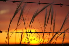 Barbed Sunset. Sunset / Sunrise with barbed wire and dreamlike grasses in focus close to camera Royalty Free Stock Photography