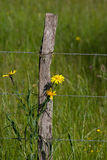 Barbed wire. Fence standing in high green grass with yellow dandelion Royalty Free Stock Photos