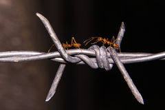 Barbed wire with ant macro, insect Stock Photo