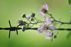 Barbed wire & blossom stock photo