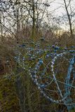 Barbed wire with blueberries royalty free stock photos