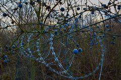 Barbed wire with blueberries stock images