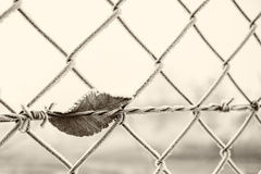 Barbed wire with dry tree leaf Stock Image