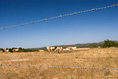 Barbed wire fence, Brown cow Royalty Free Stock Image