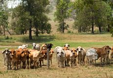 Barbed wire fence restrains brahman cow herd Stock Photo