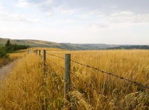 Barbed wire fence running parallel to a dirt pathway surrounded by tall native indian grass in Alberta. Barbed wire fence through the tall golden grass fields Stock Images