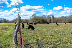 Barbed wire fenceline. With cattle grazing in the background Stock Images