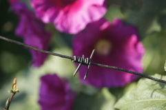 Barbed wire. With flower on the background Stock Images