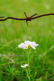 Barbed wire and flower. Beauty and ugliness. Wild flower.Enviroment protection. Under the protection of. Barbed wire and flower. Beauty and ugliness. Wild Royalty Free Stock Images
