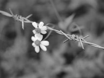 Barbed wire with flowers Royalty Free Stock Image