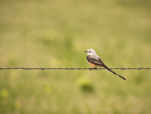 Barbed Wire Flycatcher Royalty Free Stock Image