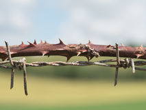 Barbed wire - natural and industrial. Macro photography of a blackberry thorn branch positioned near a metallic barbed wire fence. Additional raw file format stock photo