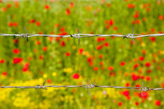 Barbed Wire on Poppy Field Royalty Free Stock Images