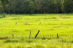 Barbed wire in the field. Barbed wire in the rice field with trees background focus on barbed wire fence Royalty Free Stock Photography