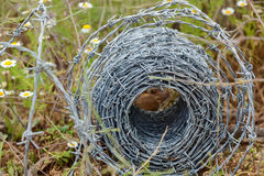 Barbed wire roll Stock Photos