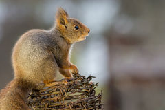 Barbed wire squirrel Royalty Free Stock Image
