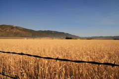 Barbed wire and wheat field Stock Photos