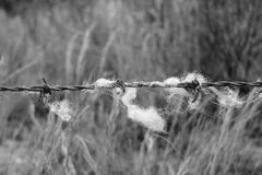 Barbed wire. With withe wool Royalty Free Stock Images