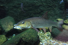 Barbel. The adult barbel floating in water stock photo
