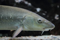 Barbel detail Stock Images