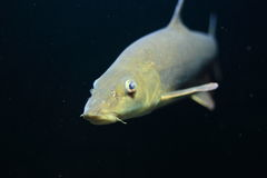 Barbel. The barbel in water stock image