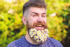 Barber and hairstyle concept. Man with beard and mustache on cheerful smiling face, green background, defocused. Hipster. With bouquet of daisies in beard royalty free stock photography