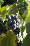 Barbera-Traube Stockbild