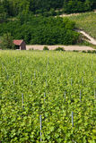 Barbera vineyard - Italy Royalty Free Stock Images